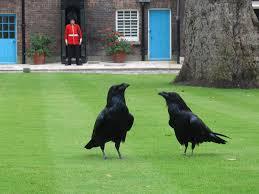 Corbeaux VS pigeons
