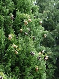 Le pollen  (花粉)