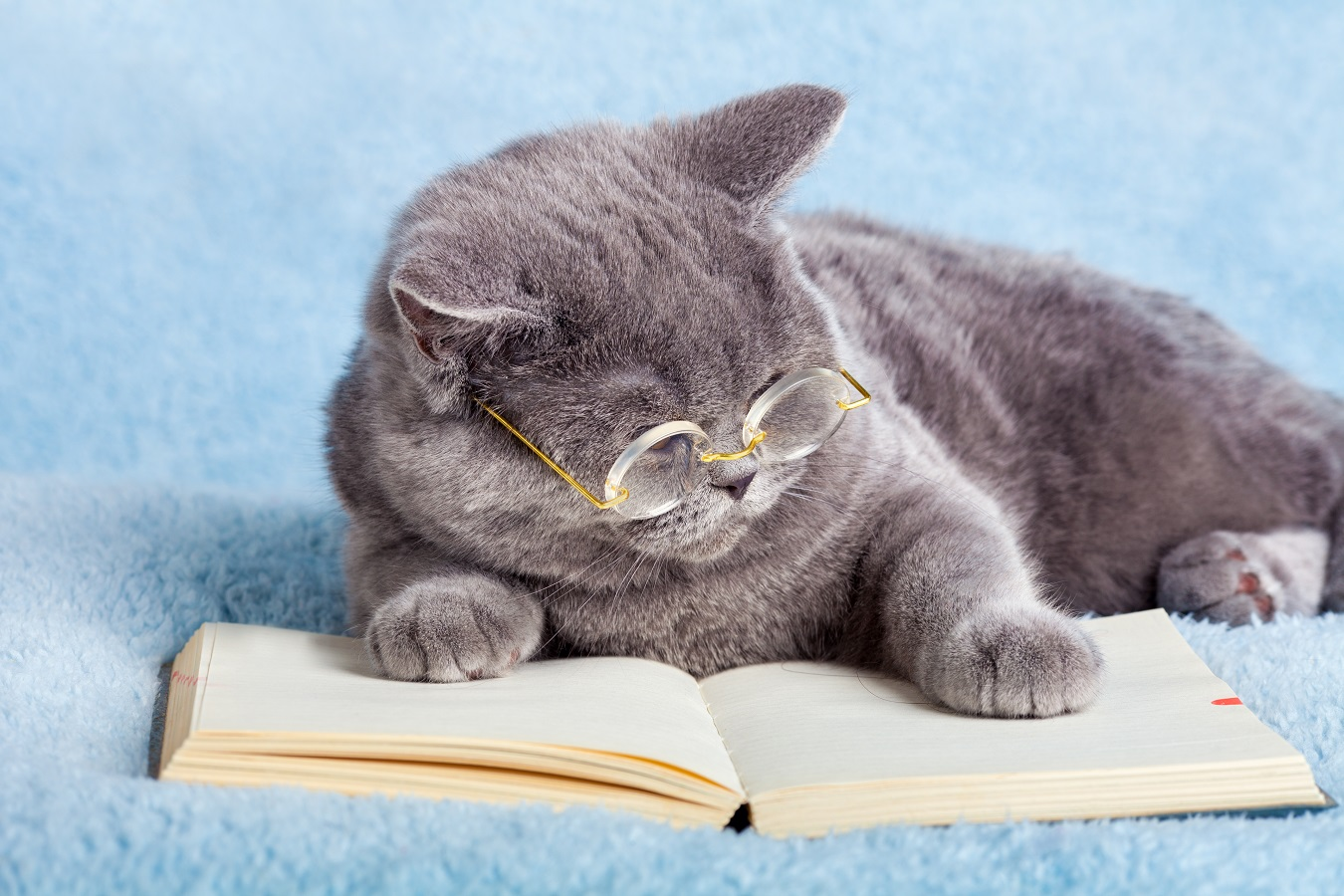 A blue british business cat wearing glasses reading notebook (bo