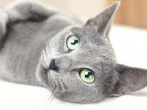 猫のタラちゃん、フランス初の腎臓移植